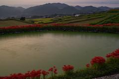 御所・彼岸花4・Gose (anglo10) Tags: 御所市 奈良県 japan 彼岸花 flower 日の出 sunrise