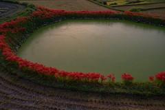御所・彼岸花3・Gose (anglo10) Tags: 御所市 奈良県 japan 彼岸花 flower 日の出 sunrise