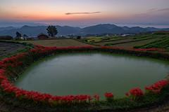 御所・彼岸花1・Gose (anglo10) Tags: 御所市 奈良県 japan 彼岸花 flower 日の出 sunrise