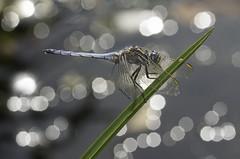 Orthetrum coerulescens (svjg67) Tags: orthetrumcoerulescens macho libélulas dragonflies