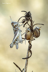 Saltamontes (Raul Espino) Tags: 2019 canon100mml canon6dmarkii macro macrofotografia naturaleza sevilla saltamontes insectos
