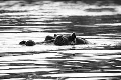 "fine art black & white study of a hippo cruising in stealth-mode. Zambezi River, Zambia, Zimbabwe, Africa. (grumpybaldprof) Tags: ""canon80d"" ""sigma 150600mm f563 dgoshsmsport"" bw blackwhite ""blackwhite"" ""blackandwhite"" noireetblanc monochrome ""fineart"" striking artistic interpretation impressionist stylistic style contrast shadow bright dark black white illuminated mood calm peaceful tranquil restful hippo water big5 eye glow"