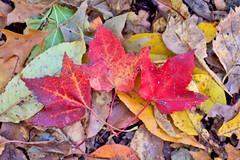 Colors (katiegodowski_photography) Tags: autumn fall red leaves photography photographer photo flickr flickrcentral oldflickr yellow canon soil nature outdoor macro explore garden outside