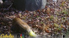 Yellow-Rumped Warbler (blazer8696) Tags: bird coronata imag6231 parulidae passeriformes rumped setophaga setophagacoronata warbler yellow yellowrumped yellowrumpedwarbler brookfield connecticut unitedstates 2019 camera ct ecw game obtusehill stumptrailrock t2019 trail trap usa