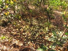 Cladia retipora (reuben.lim) Tags: cladia retipora cladiaretipora newcaledonia cladoniaceae