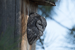 Western Screech-Owl (Megascops kennicottii)-2858 (Dave Krueper) Tags: aves bird birds corrales house landbird newmexico owl strigidae strigiformes weso