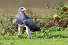 Chillian Blue Buzzard Eagle (Liam J Daniels) Tags: the raptor foundation huntingdon 18 october 2019 chillian blue buzzard eagle