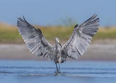 Hungry Hybrid (PeterBrannon) Tags: hybrid fortdesoto florida wildlife nature greatblueheron greategret rarebird