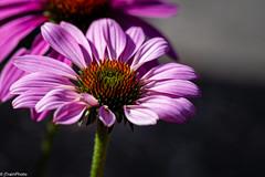 Summer 2019 (jtrainphoto) Tags: garden coneflower ef100mm macro flowers nature flower bloom canon yard flickr summer