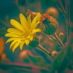 "yellow (Paul"") Tags: wildflower yellow fallcolors pfh lumberton lumbertonnc northcarolina sliderssunday hss"