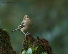 Chaffinch (Mary B Wildlife) Tags: woodlandbirdsautumnbirds chaffinch