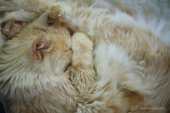 little ball of fur (photos4dreams) Tags: misschillipepper photos4dreams photos4dreamz p4d photos chilli photo pics mainecoon female cat ginger red rot fluffy katze canoneos5dmark3 canoneos5dmarkiii