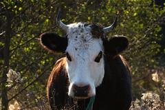 Devil Cow (Diane Marshman) Tags: cow large farm animal black white brown fur horns nature pa pennsylvania trees autumn fall season