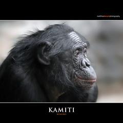 KAMITI (Matthias Besant) Tags: affe affen affenfell animal animals ape apes pygmychimpanzee fell zwergschimpanse hominidae hominoidea mammal mammals menschenaffen menschenartig menschenartige monkey monkeys primat primaten saeugetier saeugetiere tier tiere trockennasenaffe bonobo schauen blick blicken augen eyes look looking kamiti zoo zoofrankfurt matthiasbesant matthiasbesantphotography hessen deutschland