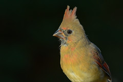 Cardinal rouge/Northern cardinal (jean-francoislavallée) Tags: oiseau bird aves cardinalrouge northerncardinal nature wildlife quebec canada nikon sigma automne fall