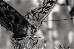 7_DSC7335 (dmitryzhkov) Tags: life russia documentary dmitryryzhkov nature animal naturephotography europe animals biology wildlife wild environment macro macrophotography closeup insect spider moscow fauna flora sony bw monochrome blackandwhite