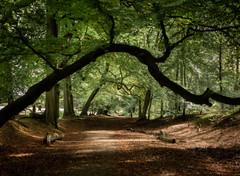 Walk this way (paullangton) Tags: woodland trees ashridge hertfordshire landscape colour ancient walk nature warm goldern