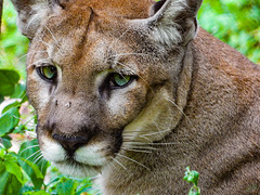 THE FLORIDA PANTHER (eliewolfphotography) Tags: panther panthers puma cougar panthera florida floridawildlife floridaliving wildlife wildlifephotographer wildlifephotography wetlands nature naturelovers nikon naturephotography natgeo naturephotographer eyes bigcats bigcat cats cat feline explore
