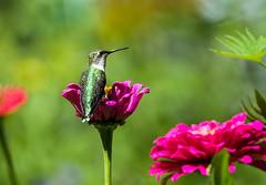 0P7A4050  Rubt-throated Hummingbird, Canada (ashahmtl) Tags: rubythroatedhummingbird bird hummingbird archilochuscolubris ourbackyard pointeclaire quebec canada