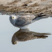 Pallid Harrier with Reflection