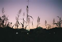 夕焼け (Architecamera) Tags: filmphoto snap color film sunset plants