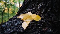🍁 The Beautiful Fallen 🍁 (0sire) Tags: fall autumn yellow leaves trees bark nature alleypondpark bokeh