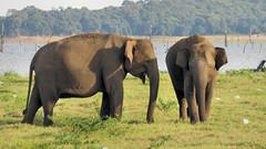 Elephants Kaudulla National Park (Meino NL) Tags: elephants kaudullanationalpark olifanten wildelephant elephantsafari srilanka