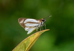 Yellow Fantastic-Skipper --- Vettius marcus (creaturesnapper) Tags: panama insects butterflies lepidoptera hesperiidae skippers yellowfantasticskipper vettiusmarcus