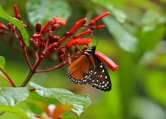 Tithorea tarricina pinthias.--ssp poecilina (creaturesnapper) Tags: panama insects butterflies lepidoptera nymphalidae tithoreatarricinapinthias ssppoecilina