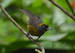 Dusky-faced Tanager --- Mitrospingus cassinii (creaturesnapper) Tags: panama birds thraupidae tanagers duskyfacedtanager