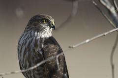 Hawk profile, 1 of 3 (Jan.Timmons) Tags: wildandfree nikkor500f4lens nikon17teleconverter pacificnorthwest sharpshinnedhawk outdoors outside naturephotography phototherapy perched rotatehead accipiterstriatus coopershawk accipitercooperii hawk raptor smallraptorofsomekind