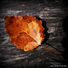 F2-156. 2019 (lisc.leaf) Tags: leaf liście leafart leaves liść lisc liscie liściu populus topola autumn jesień