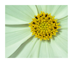 Rosette (Graham Pym On/Off) Tags: white d7100 devon flora flower yellow petals pollen macro sigma105mm coth5 alittlebeauty coth doublefantasy