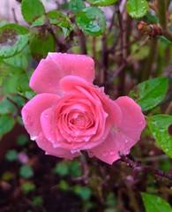 iph8031 (gzammarchi) Tags: italia paesaggio natura pianura campagna ravenna borgomontone fiore rosa colore