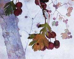 fallIn2Winter (blancopix) Tags: postprocess blustery scene fall leaves snow bark hss