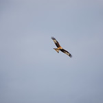 Red Kite on the Cardiff coats at Rumney Great Wharf
