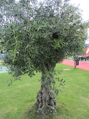 Olivenbaum (Olea europaea) (1) (naturgucker.de) Tags: ngid720488384 oleaeuropaea olive