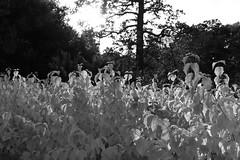 Savill Garden 30 October 2019 004bw (paul_appleyard) Tags: savill garden october 2019 sunlight trees autumn black white leaves