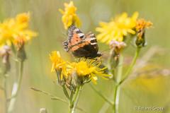 Schmetterling 186 (rgr_944) Tags: schmetterling butterfly papillon tier insekten macro natur canoneos60deos70deos80deos7dmk2eos5dmk4 rgr944