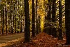 Autumn Trees (BraCom (Bram)) Tags: bracom bramvanbroekhoven gelderland nederland netherlands radiokootwijk veluwe autumn bladeren bomen bos branches fall foliage forest gebladerte herfst landschap leaves rij road row takken tree trees weg woods