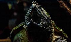 Alligator snapping turtle (Millie Cruz (On and Off)) Tags: alligatorsnappingturtle turtle animal water reptile macrochelystemminckii ef50mmf18stm canoneosrebelt6i smithsoniannationalzoo washingtondc zoo maw jaws beak eye milliecruz