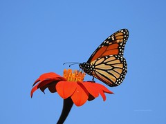 Monarch Butterfly (Anton Shomali - Thank you for over 3 million views) Tags: beautiful photo photography picture capture nature colors beauty yellow red orange monarch butterfly mexican sunflower color colour bright art bold sony slta77v camera sun summer light sunny spread your wings fly away nikon coolpix p900 bigger than life blue sky shadow plant backyard sunnysky skies bluesky mexicansunflower monarchbutterfly bluecolor
