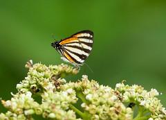 Chiapas Stripe-streak --- Arawacus togama (creaturesnapper) Tags: panama insects butterflies lepidoptera lycaenidae hairstreaks chiapasstripestreak arawacustogama