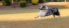 (44/52) Tally Ho! (Jasper's Human) Tags: 52weeksfordogs dog aussie australianshepherd play run stick fly