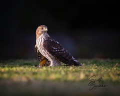 Bad Day for a Starling... (DTT67) Tags: coopershawk hawk maryland 500mmii 5dmkiv canon raptor birds nature wildlife