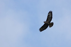 Buzzard (sumowesley) Tags: bird buzzard ecclesfield fauna nature