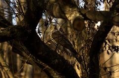 Hawk (PetuPictures) Tags: hawk close wildlife nature naturephotography finland visitfinland explore birds forest pentax sigma