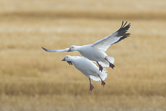 Snow Geese (Peter Stahl Photography) Tags: snowgeese geese migration feeding