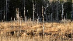 Beaver Bog (jtr27) Tags: dscf7617xl3 jtr27 xe2s fuji vivitar komine 55mm f28 macro manualfocus beaver bog marsh randolph newhampshire nh newengland