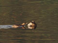 wakey wakey   little grebe (simonrowlands) Tags: littlegrebe tachybaptusruficollis ponds lakesriverscoastallagoons olympusem1x300mmf414converter